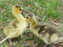 小鸡的滑稽的触目惊心在第一个亲吻的 免版税库存照片