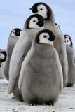 小鸡皇企鹅 库存图片