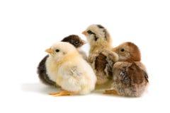 小鸡组 免版税库存照片
