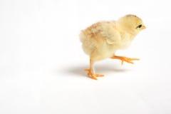 小鸡运行中 图库摄影