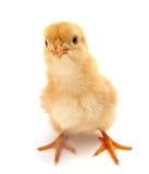 小鸡黄色 免版税库存照片