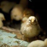 小鸡黑暗安排 免版税库存图片
