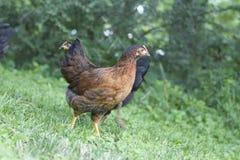 小鸡,小鸡,鸡 免版税库存照片