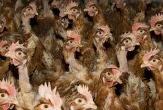 小鸡,背带背带domesticus 图库摄影