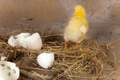 小鸡从鸡蛋逃脱 库存照片