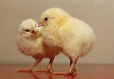 小鸡 库存照片