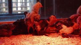 组小鸡 影视素材