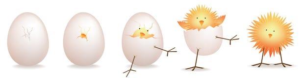 小鸡5个阶段,幼鸟孵化 图库摄影
