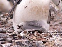 小鸡chinstrap企鹅 免版税库存照片