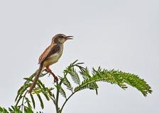 小鸣鸟鸟在蕨上面坐并且叫给它的伙伴 库存图片