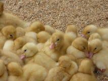 小鸭子杂乱的一团  库存图片
