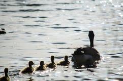 小鸭子母亲 免版税库存图片