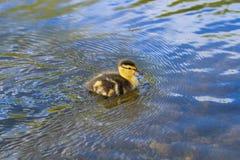 小鸭子游泳 免版税库存照片