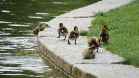 小鸭子退出湖 免版税库存照片