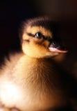 小鸭子 免版税库存图片