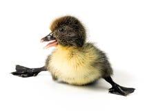 小鸭子 免版税图库摄影