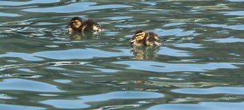 小鸭子Quacking游泳 免版税图库摄影