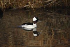 小鸭, Bucephala albeola 免版税图库摄影