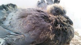 小鸽子 免版税库存图片