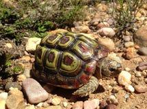 小鹦鹉钩形的草龟在Fynbos 库存照片