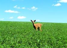 小鹿一点 图库摄影
