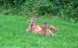 小鹿休息 库存图片