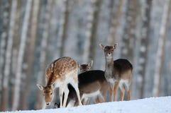 小鹿在冬天森林里 免版税库存照片