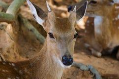 小鹿在动物园里,特写镜头 免版税库存图片