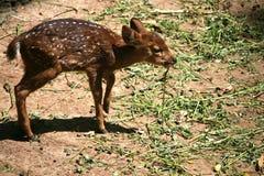 小鹿在动物园里 免版税库存图片