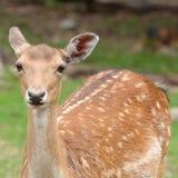 小鹿在夏天 图库摄影