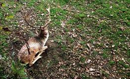 小鹿在普里多位置在国家认为是其中一最旧的公园牧群 免版税库存照片