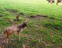 小鹿在普里多位置在国家认为是其中一最旧的公园牧群 免版税图库摄影