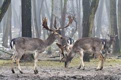 小鹿在有雾的森林里 库存图片