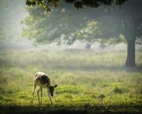 小鹿在清早阳光下 免版税库存照片