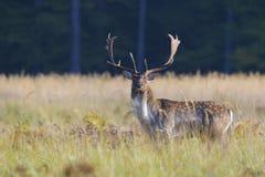 小鹿在秋天 图库摄影