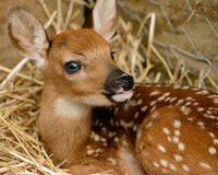 小鹿在谷仓 库存图片