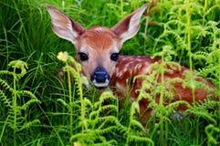 小鹿新出生的白尾鹿 库存照片