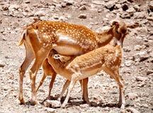 小鹿母亲哺乳她的婴孩 免版税库存图片
