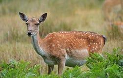 小鹿母鹿 库存图片