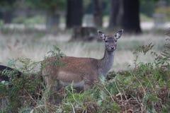 小鹿母鹿 图库摄影