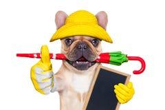 小鹿法国牛头犬准备好步行 免版税库存图片