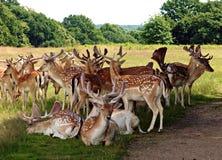 小鹿牧群在里士满公园大伦敦英国 库存照片