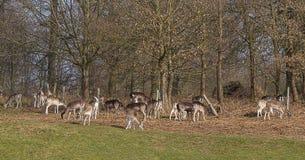 小鹿牧群的照片吃草在木头边缘的  库存照片