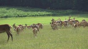 小鹿牧群 影视素材