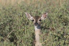 小鹿被盯梢的白色 免版税库存照片