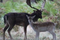 小鹿阶段和母鹿 免版税库存图片