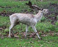 小鹿,黄鹿黄鹿,咆哮在森林里 免版税库存图片