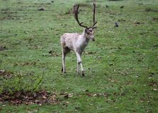 小鹿,黄鹿黄鹿,咆哮在森林里 免版税图库摄影