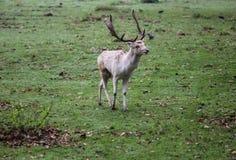 小鹿,黄鹿黄鹿,在森林里 库存照片