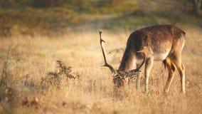 小鹿黄鹿吃草在草甸的黄鹿雄鹿 股票录像